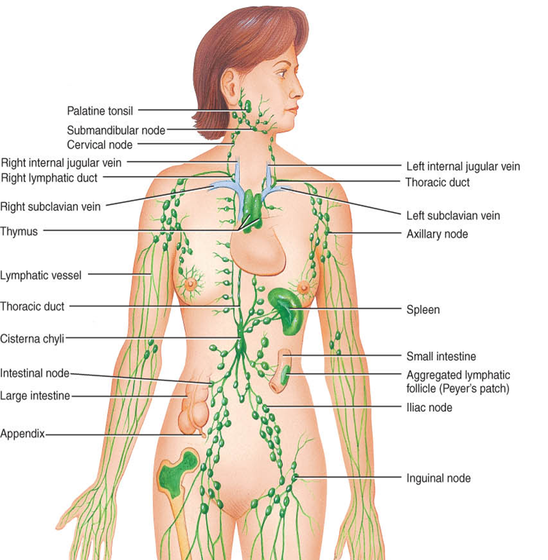 Detox Your Lymphatic System Prevention Against Cancer Soraya